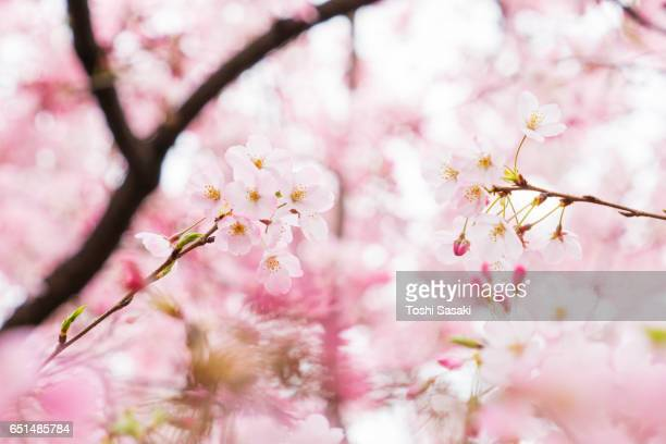 Cherry blossoms are in full bloom, which are surrounded by soft spring sunlight at Tokyo, Japan.