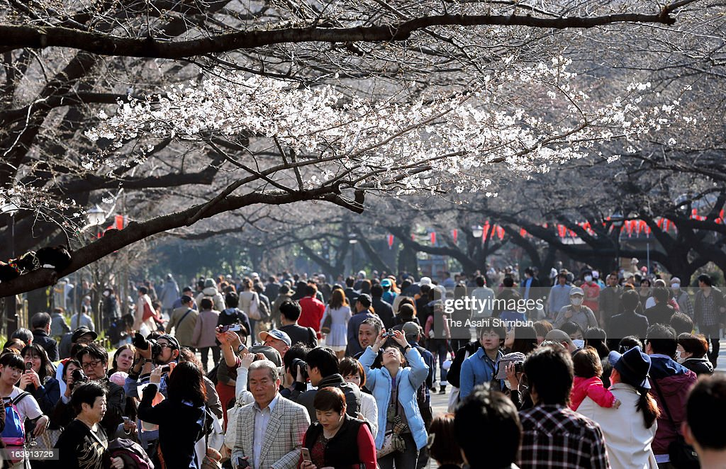 Cherry blossoms are seen in bloom at Ueno park on March 16, 2013 in Tokyo, Japan. The blossom has arrived earlier than usual in Tokyo this year.
