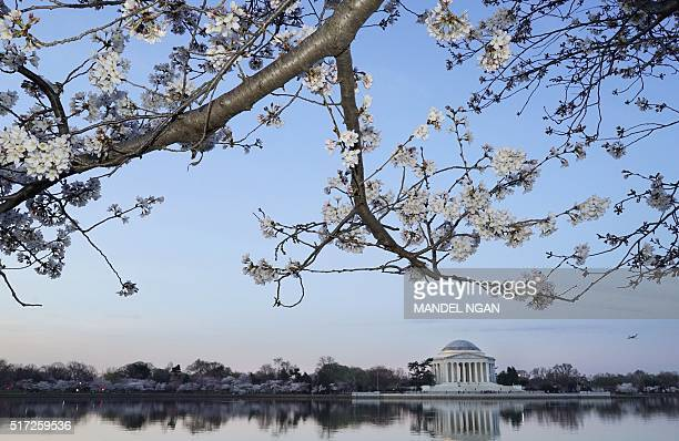 Cherry blossoms are seen in front of the Jefferson Memorial at the Tidal Basin on March 24 2016 in Washington DC / AFP / MANDEL NGAN
