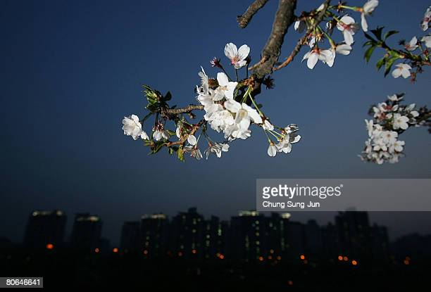 Cherry blossoms are seen in full bloom at the Youido cherry blossom festival near the national assembly April 12 2008 in Seoul South Korea Cherry...