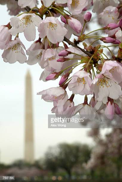 Cherry blossoms are shown in peak bloom March 31 2002 along the Tidal Basin in Washington DC The cherry blossom trees were presented to the US by the...
