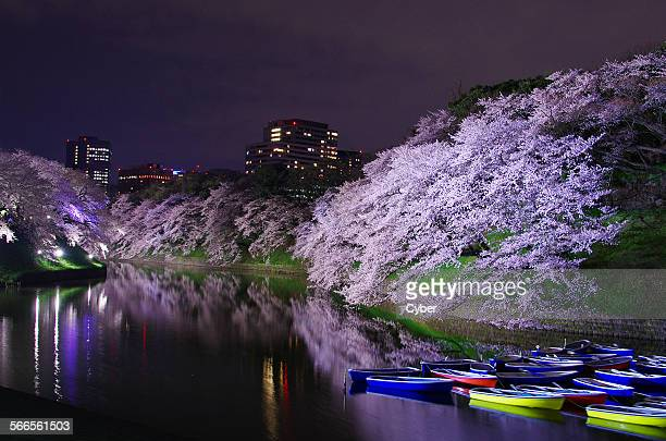 Cherry blossoms at Chidorigafuchi