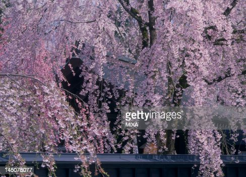 Cherry Blossoms at Kakunodate, Semboku, Akita, Japan