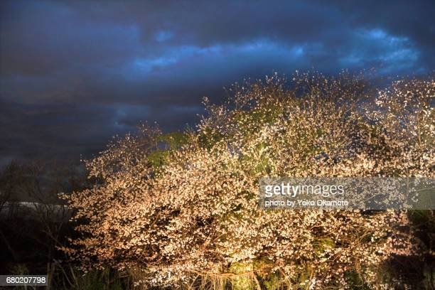 Cherry blossoms at Kuonji Temple before dawn