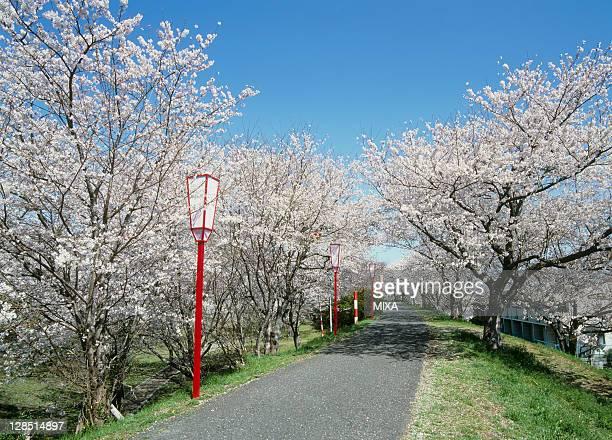 Cherry Blossoms at Miyagawa Tsutsumi Park, Ise, Mie, Japan
