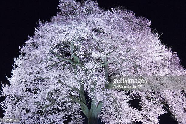 Cherry blossoms at night, Yamanashi Prefecture, Honshu, Japan