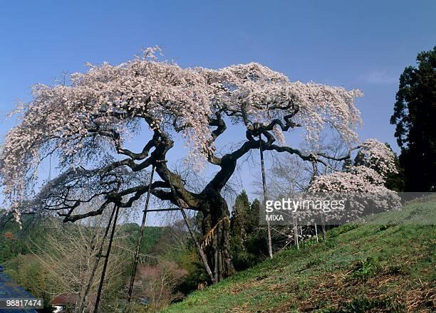 Cherry Blossoms at Sotoono, Hitachi, Ibaraki, Japan