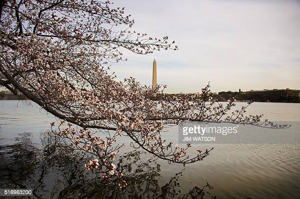 Cherry blossoms begin to bloom at the Tidal Basin in Washington DC March 22 2016 / AFP / Jim Watson