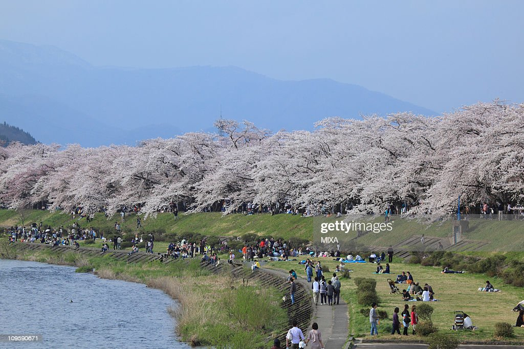 Cherry Blossoms Besides Hinokinai River, Senboku, Akita, Japan