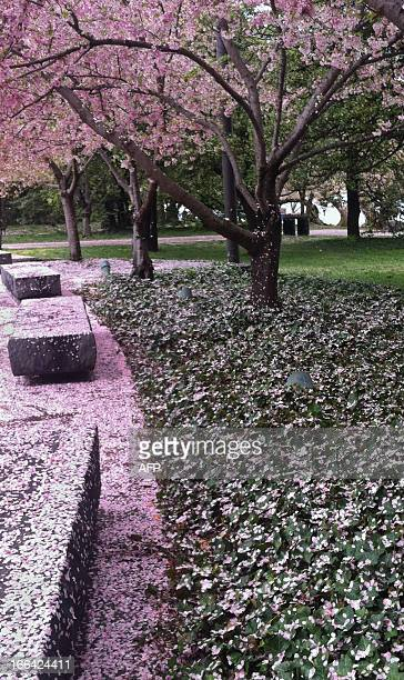 Cherry blossoms blanket the ground following rain at the Tidal Basin during the Cherry Blossom Festival in Washington on April 12 2013 The blossoms...