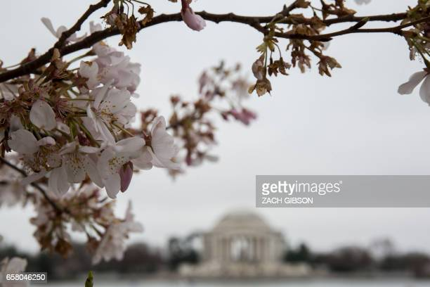Cherry blossoms bloom at the Tidal Basin on March 26 2017 in Washington DC / AFP PHOTO / ZACH GIBSON