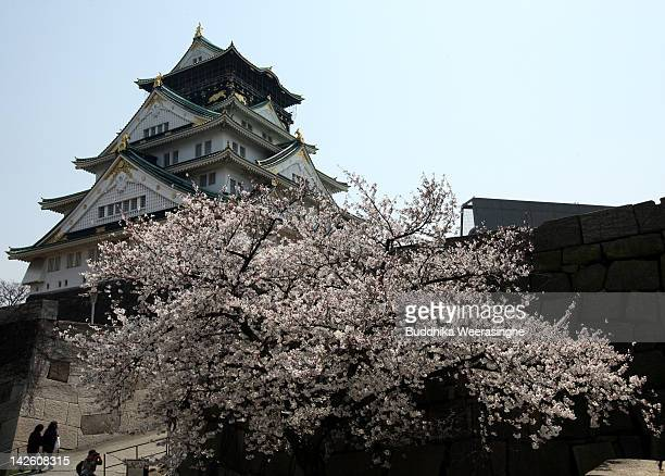 Cherry blossoms bloom beside the Osaka Castle on April 9 2012 in Osaka Japan