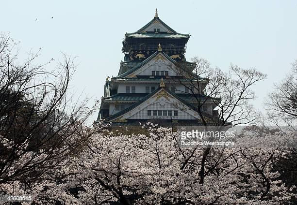 Cherry blossoms bloom in front of Osaka Castle on April 9 2012 in Osaka Japan