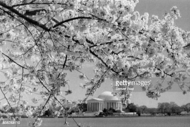 Cherry blossoms bloonm in Washington in 1987 with the Jefferson Memorial in the background 1990 Credit The Denver Post