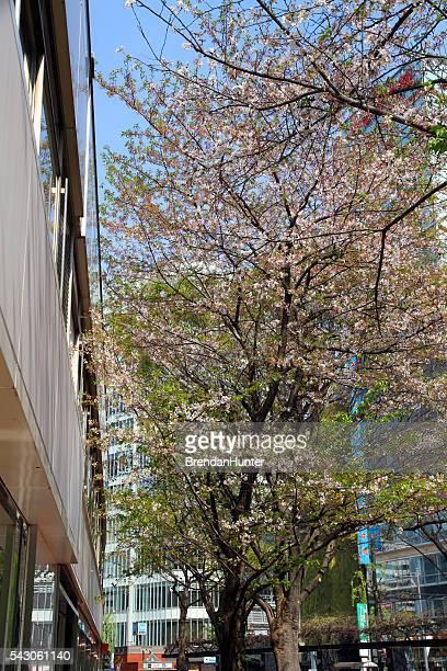 Fleurs de cerisier dans le centre-ville