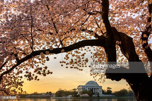 Cherry blossoms frame the Jefferson Memorial in Washington DC