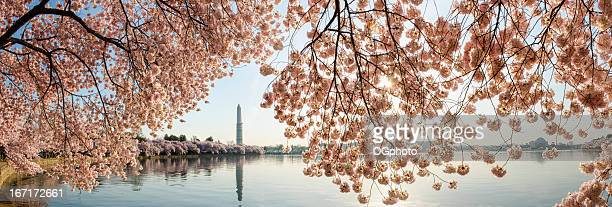 Cherry blossoms frame the Washington Monument and Jefferson Memor