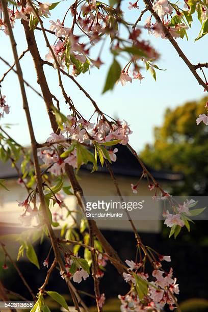 Histoire de fleurs de cerisier