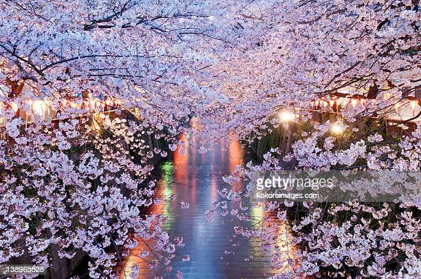 Cherry blossoms in evening