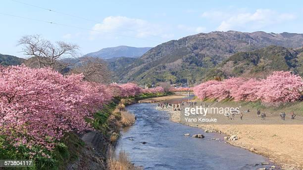 Cherry blossoms in full bloom along Kawazu River