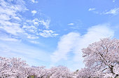 Cherry blossoms in full bloom with fluffy feeling