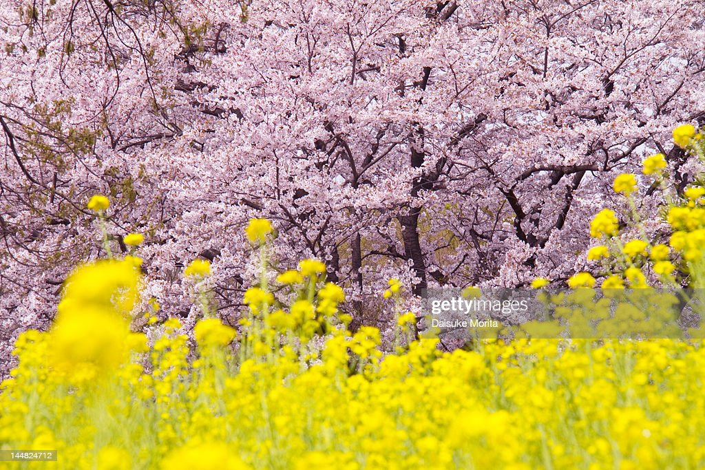Cherry blossoms in full bloom with field of yellow : Stock Photo