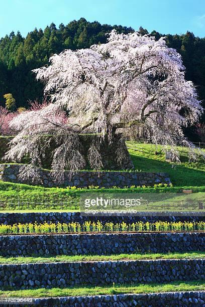 Cherry blossoms in Matabe, Nara Prefecture