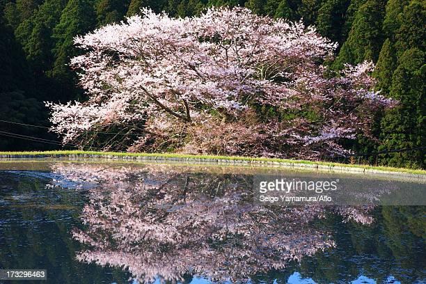 Cherry blossoms in Morokino, Nara Prefecture
