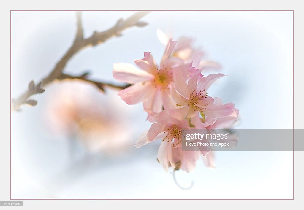 Cherry blossoms in October : Stock Photo