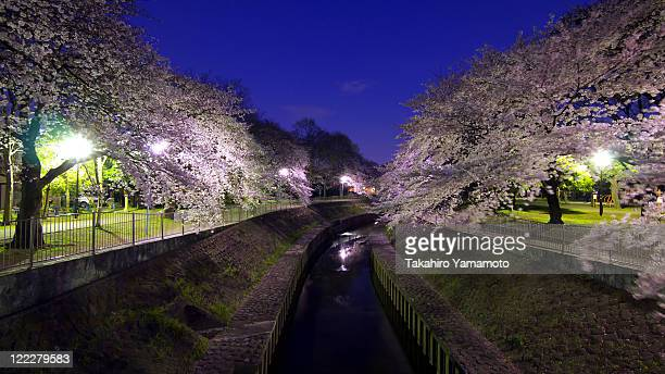 Cherry blossoms in park at night