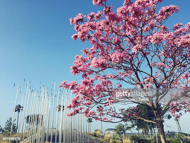 Cherry Blossoms In Spring With Poles In Background