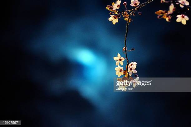 Cherry blossoms lit by moon