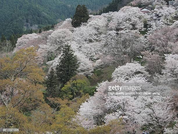 Cherry Blossoms Mountain, Yoshino
