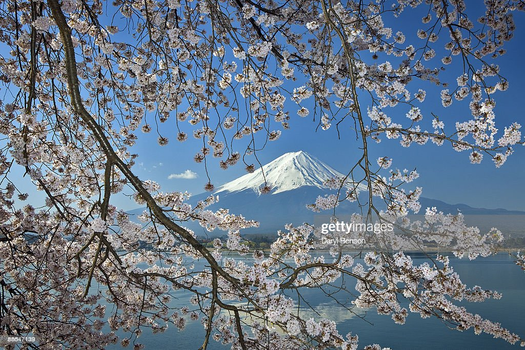 Cherry blossoms, Mt. Fuji : Stock Photo