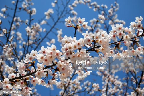 Cherry blossoms on blue sky