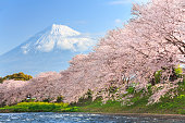 Cherry blossoms or Sakura and Mountain Fuji in background at the river in the morning