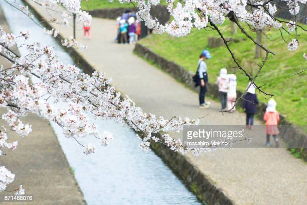 Cherry Blossoms over Hori-kawa River, Kyoto City