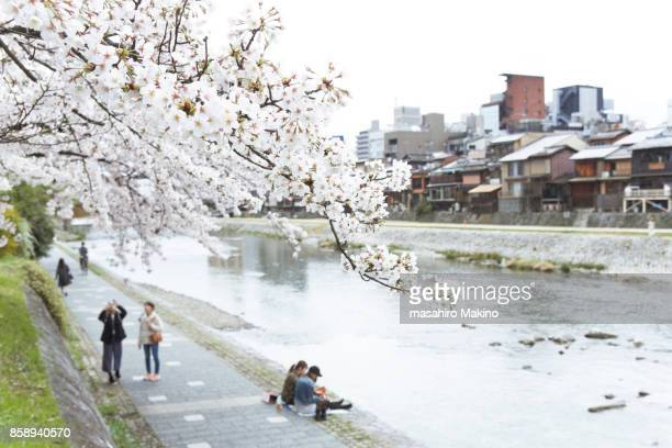 Cherry Blossoms over Kamo River Bank, Kyoto City