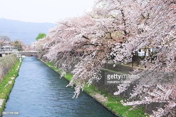 Cherry blossoms over Okazaki canal