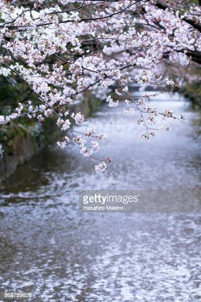 Cherry Blossoms over Takase River, Kyoto City