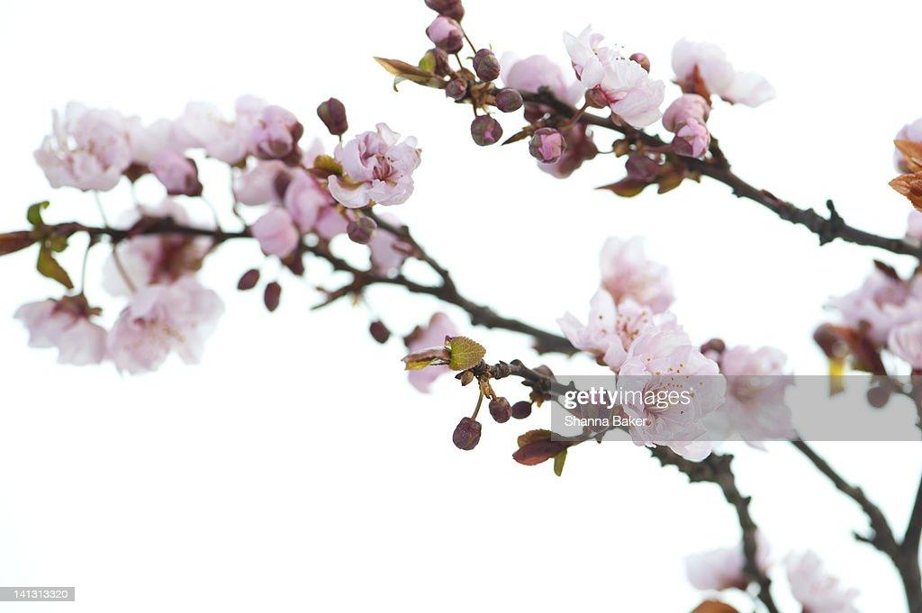 Cherry blossoms : Stock Photo