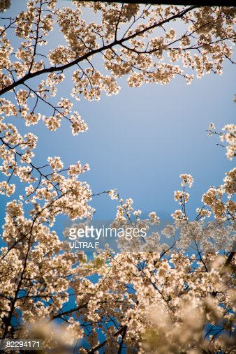 Cherry blossoms : Stock-Foto