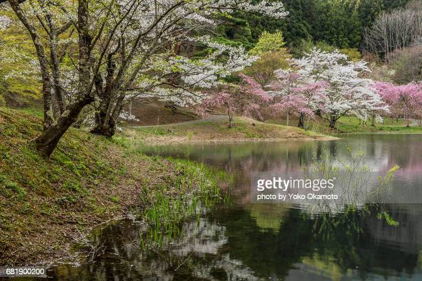 Cherry blossoms reflected in the pond(Fukushima)