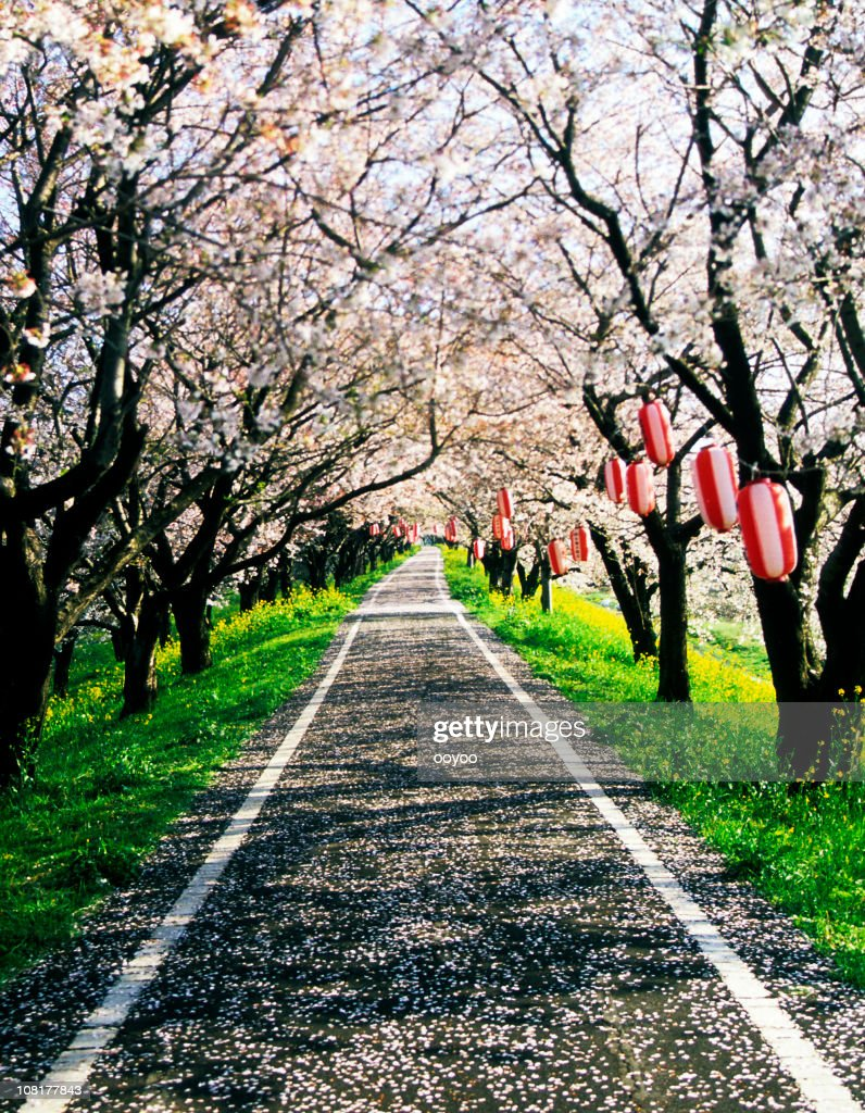 Cherry blossoms road : Stock Photo