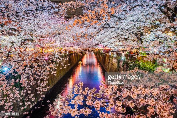 Cherry blossoms season in Tokyo, Japan