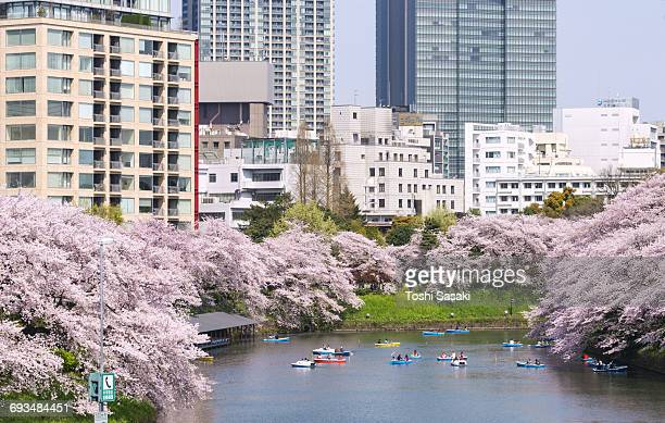 Cherry blossoms surround Chidorigafuchi Moat.