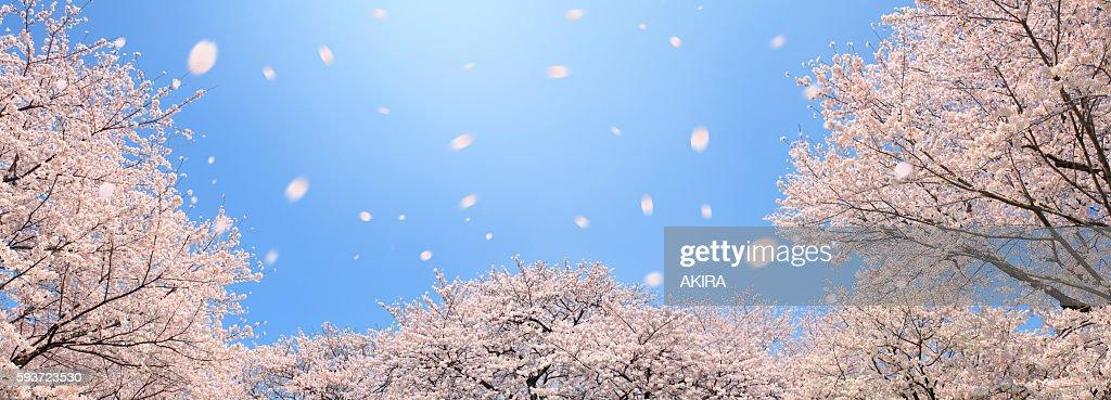 Cherry blossoms, Tokyo Prefecture, Honshu, Japan
