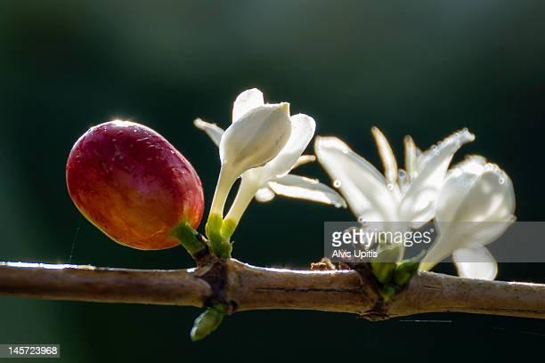 Cherry coffee bean and blossom (Coffea arabica)