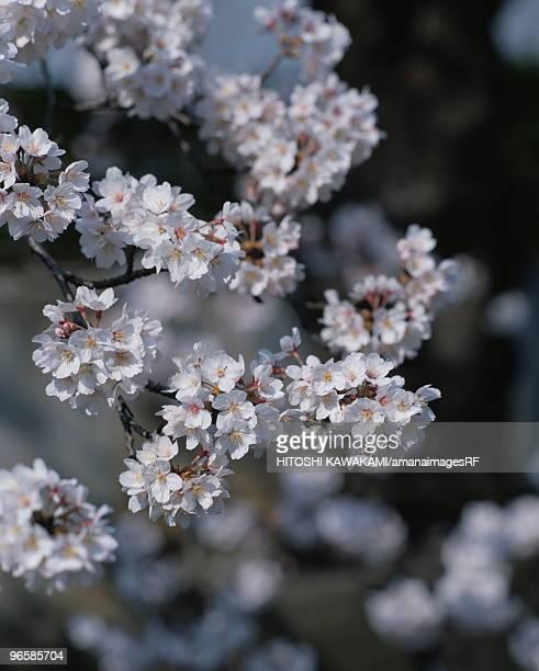 Cherry flowers on branch, close up, Yokohama city, Kanagawa prefecture, Japan