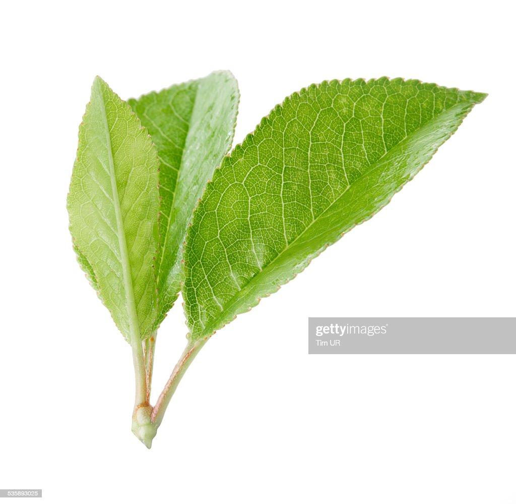 Cherry Blätter auf einem Ast, isoliert : Stock-Foto